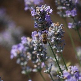 Lavender, lavender oil and lavender water production